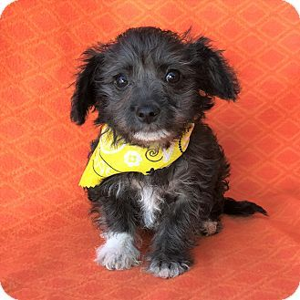 Burbank Ca Maltese Poodle Toy Or Tea Cup Mix Meet Jackie