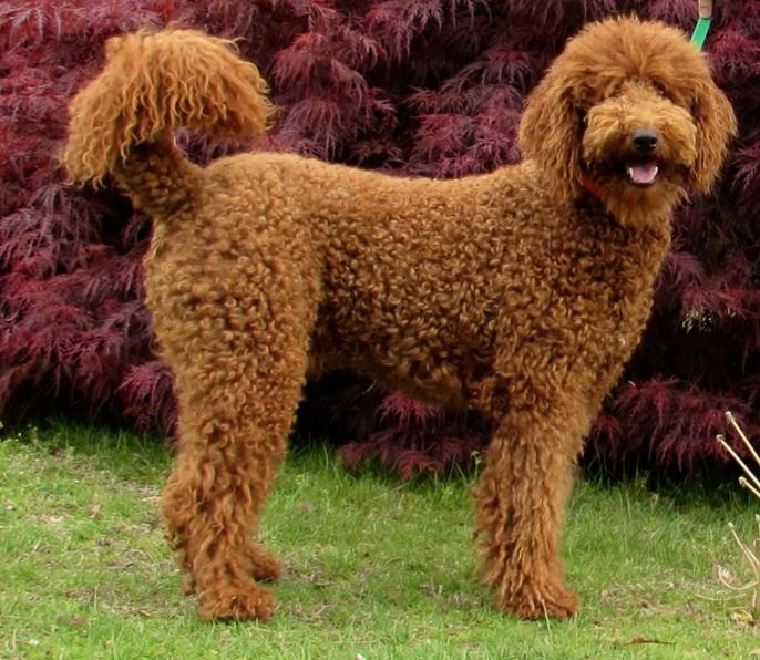 Red Standard Poodles Revolution Zig Zag Our Small Red Standard