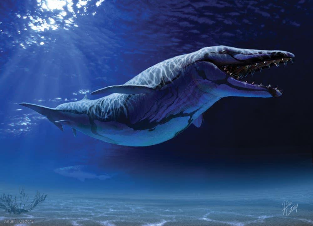 """""""El Dorudon es un excelente ejemplo de la etapa intermedia de la evolución de las ballenas modernas que venían de animales terrestres con patas, ya que éste tenía un par de aletas traseras"""", dice Csotonyi."""