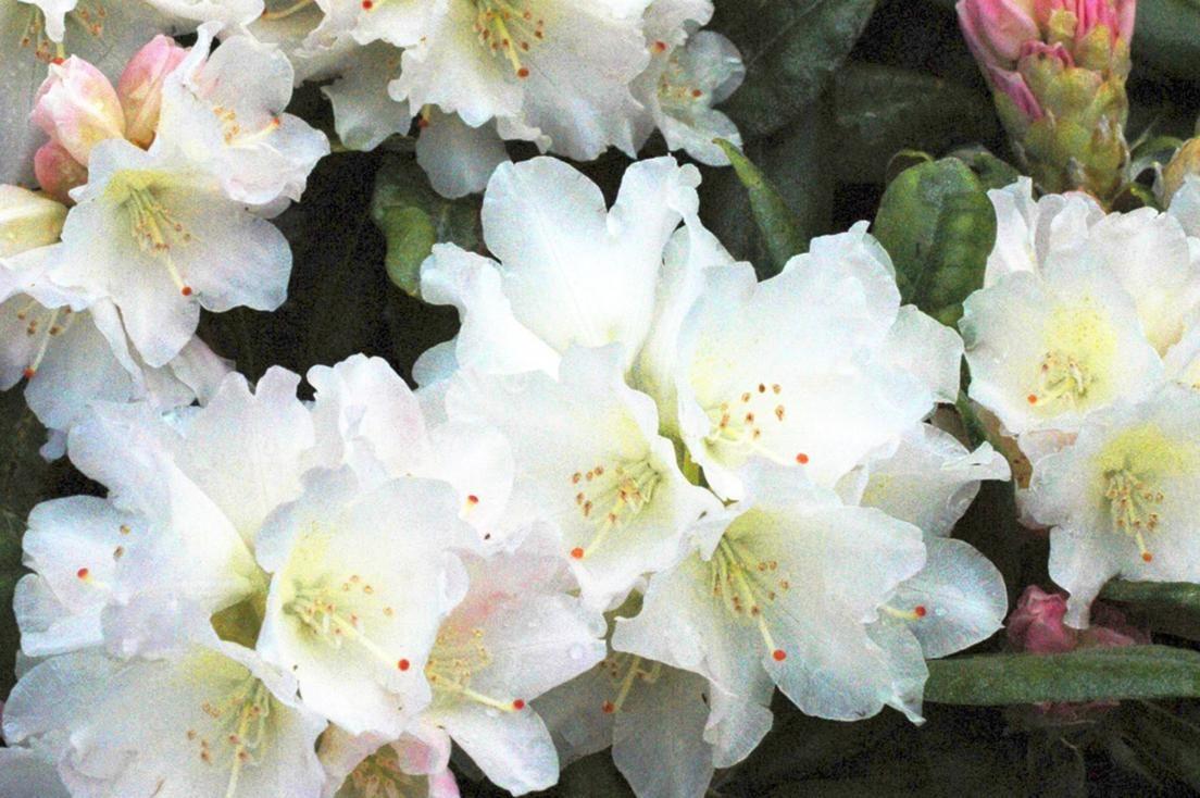 8 ideaa kukkiviin pensaisiin - katso kuvat ja vinkit!