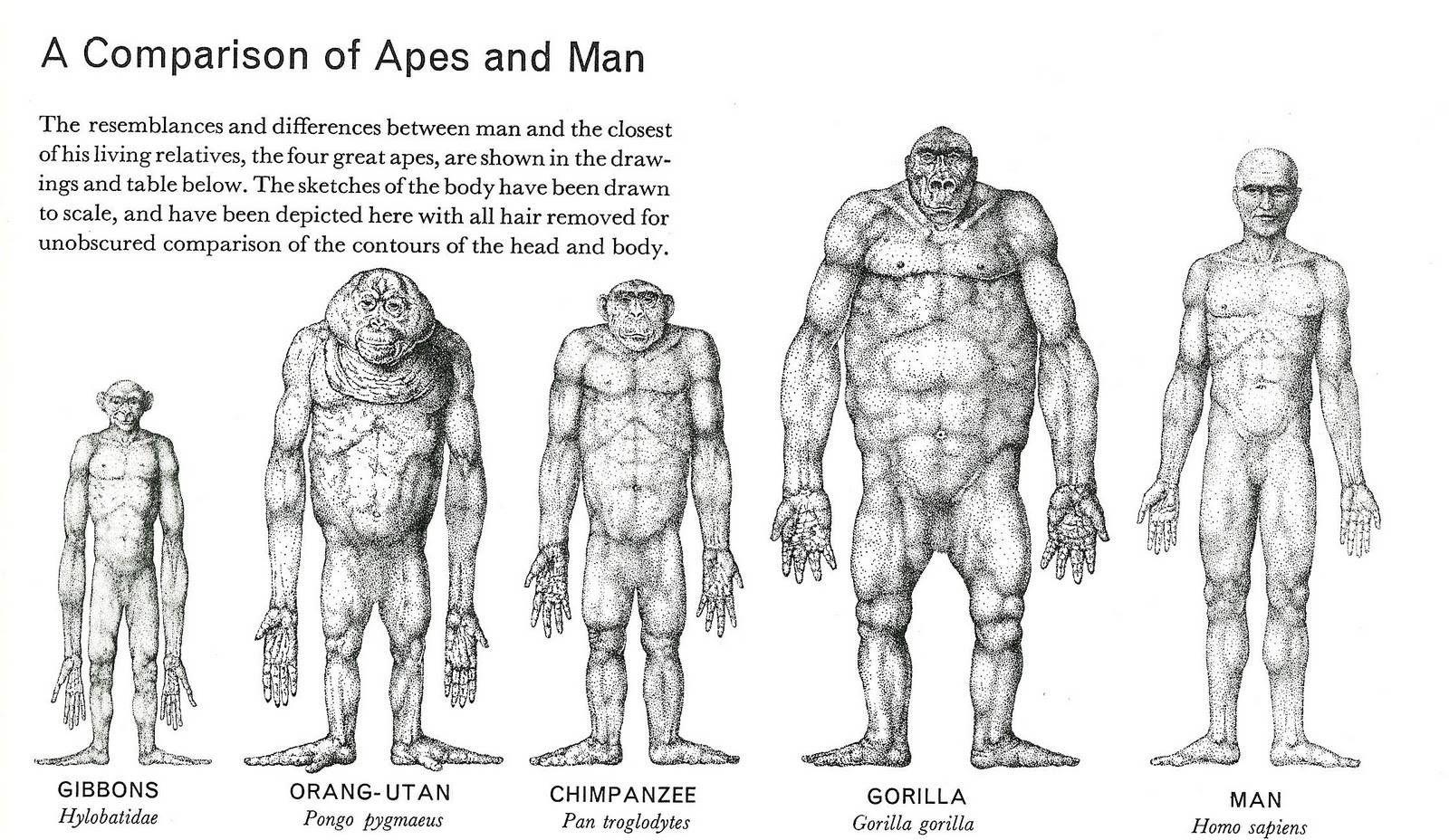 Great Apes And Man Alfa Img