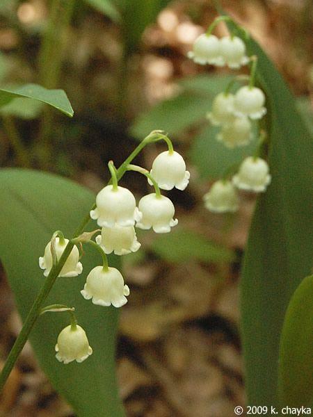 Convallaria Majalis European Lily Of The Valley Minnesota Wildflowers My Birth Flower Wild Flowers Minnesota Garden Wildflower Garden