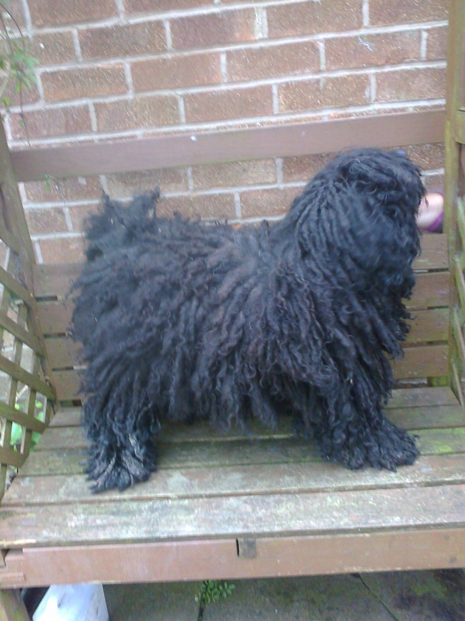 Seven Hungarian Puli Pups For Sale Puppies For Sale Hungarian