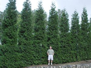 No More Nosy Neighbors Fastest Growing Hedge Plant With Images Green Giant Arborvitae