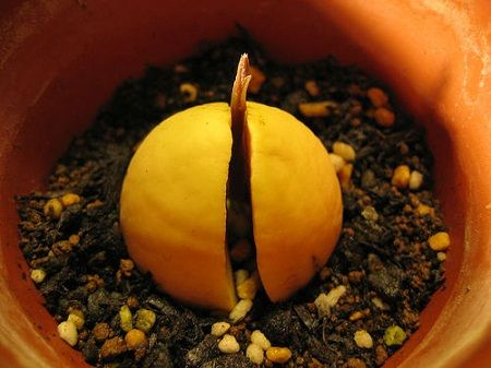 How to Grow an Avocado Tree From a Nut | AgriPinoy.net
