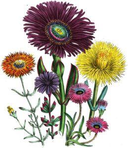 Mesembryanthema, or ice plant, represents frigidity.