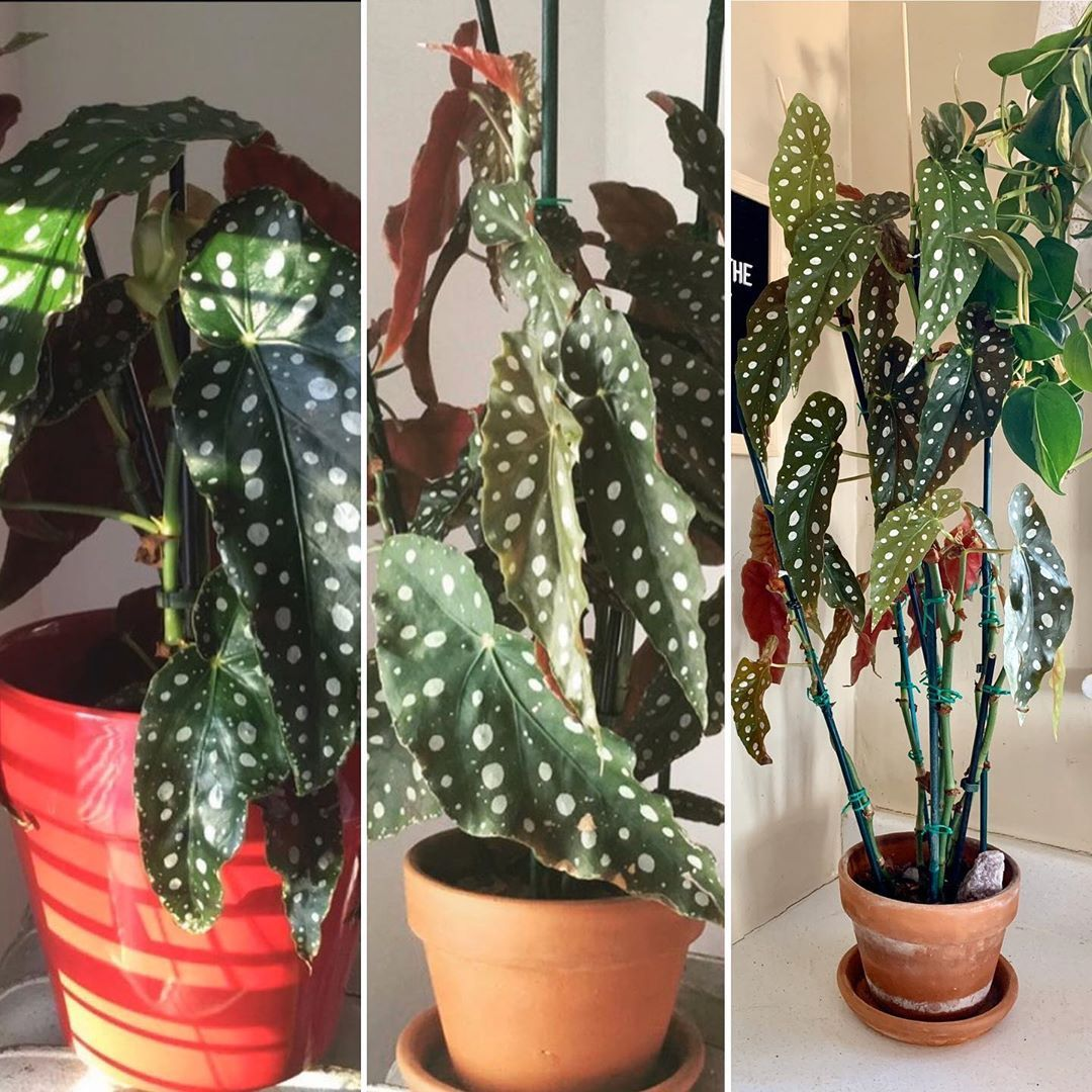 Alex On Instagram The Evolution Of My Begonia Maculata The First Photo Is From When I Got It Last November From Home De Begonia Maculata Begonia First Photo