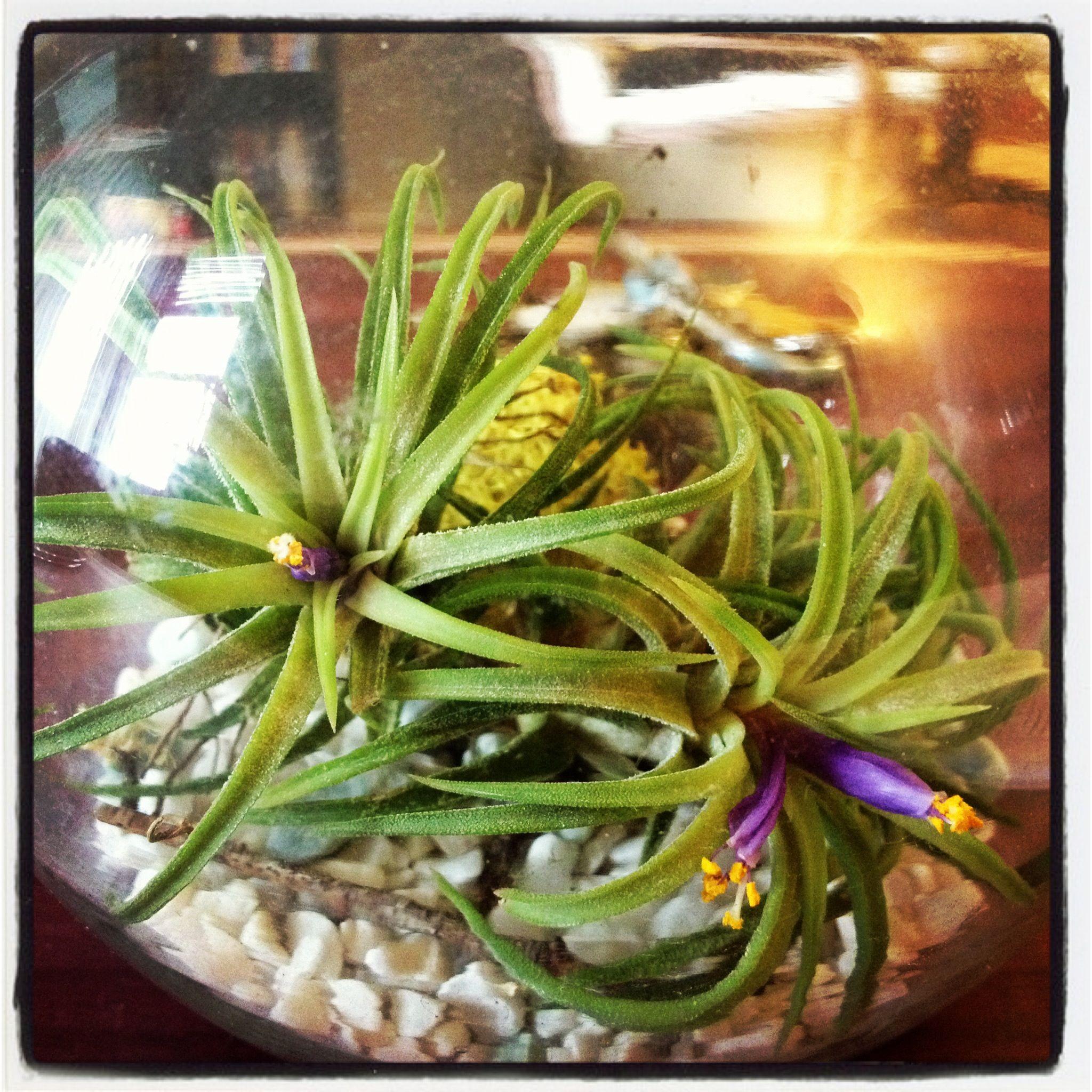 Flowering airplant air plants green vegetables