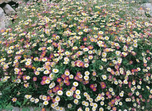 Erigero piante perenni per bordure e rocciati meilland for Piante perenni per bordure