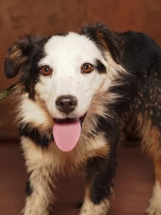 Addie Is An Adoptable Australian Shepherd Searching For A Forever