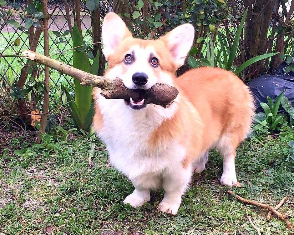 Adopter Un Corgi Les Besoins D Rsquo Un Chiot Animal Facts Animal Jokes Animals