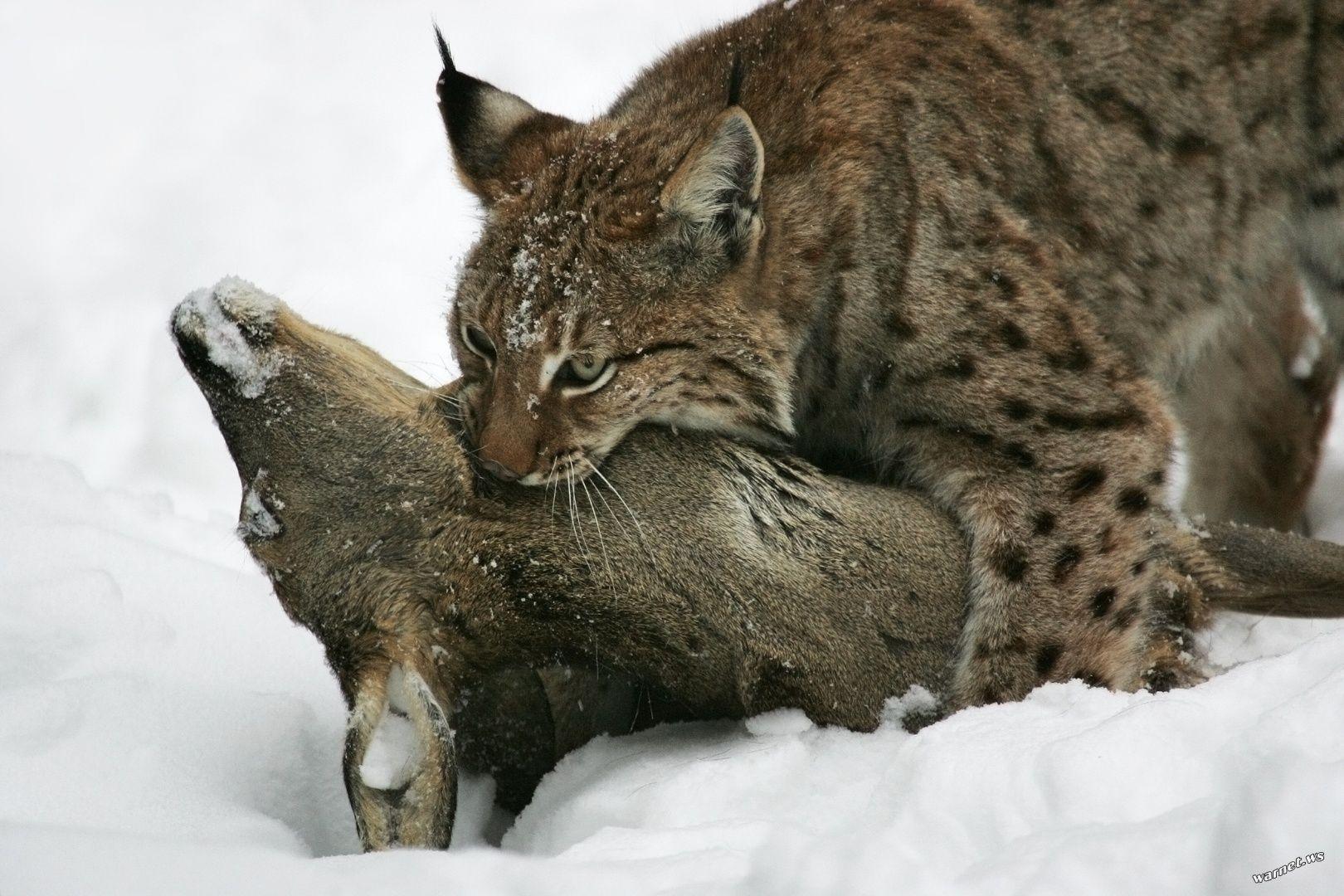 картинка рысь и заяц