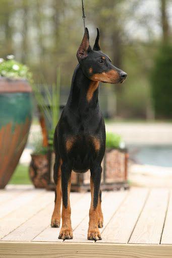 Doberman Pinscher Ch Hollywood S Catwoman Doberman Dogs Dogs