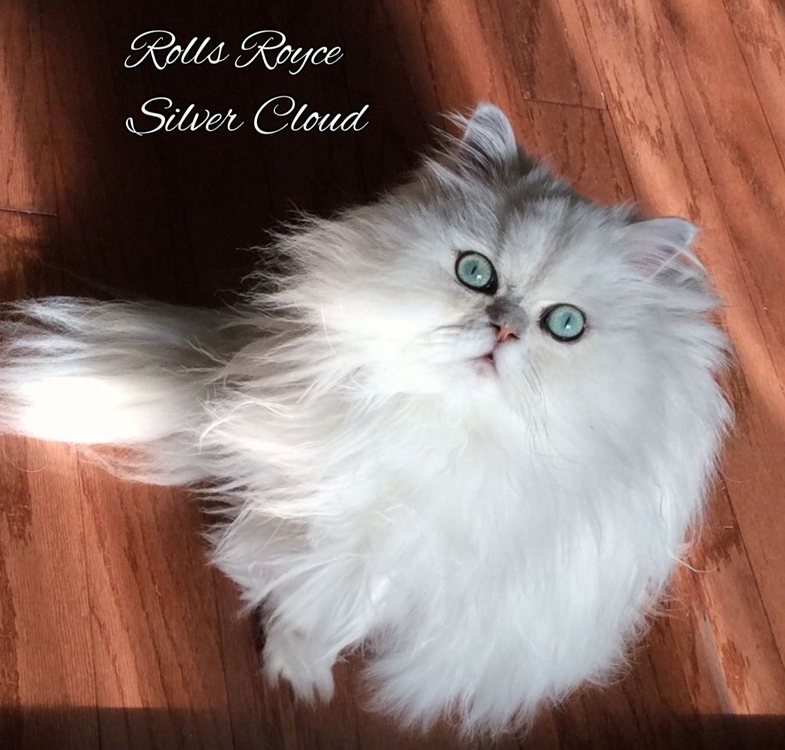 Chinchilla Silver Persian Rolls Royce Silver Cloud Copy Cat Purrfection Beautiful Cats Cats And Kittens Cat Breeds