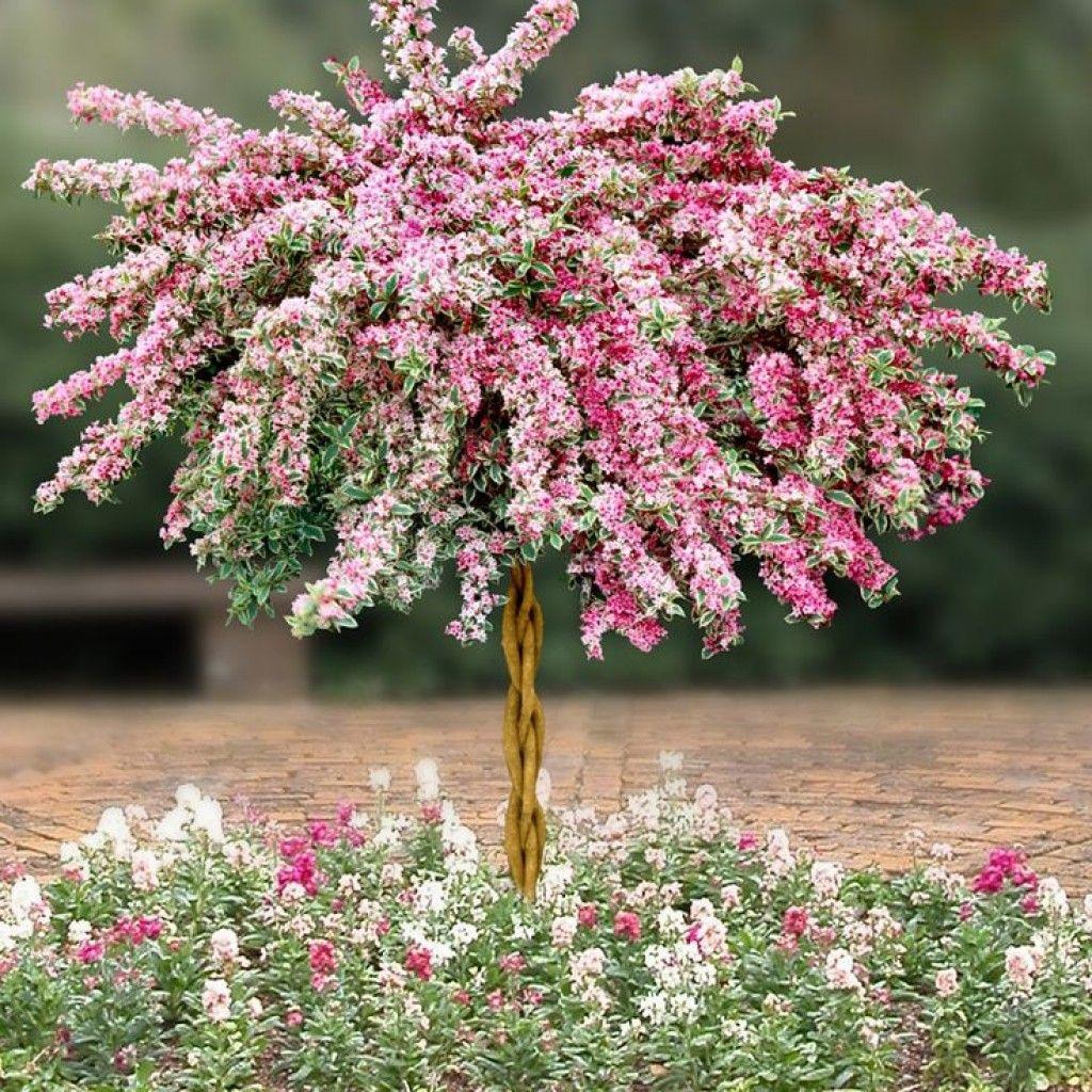 Декоративные цветущие кустарники фото и названия
