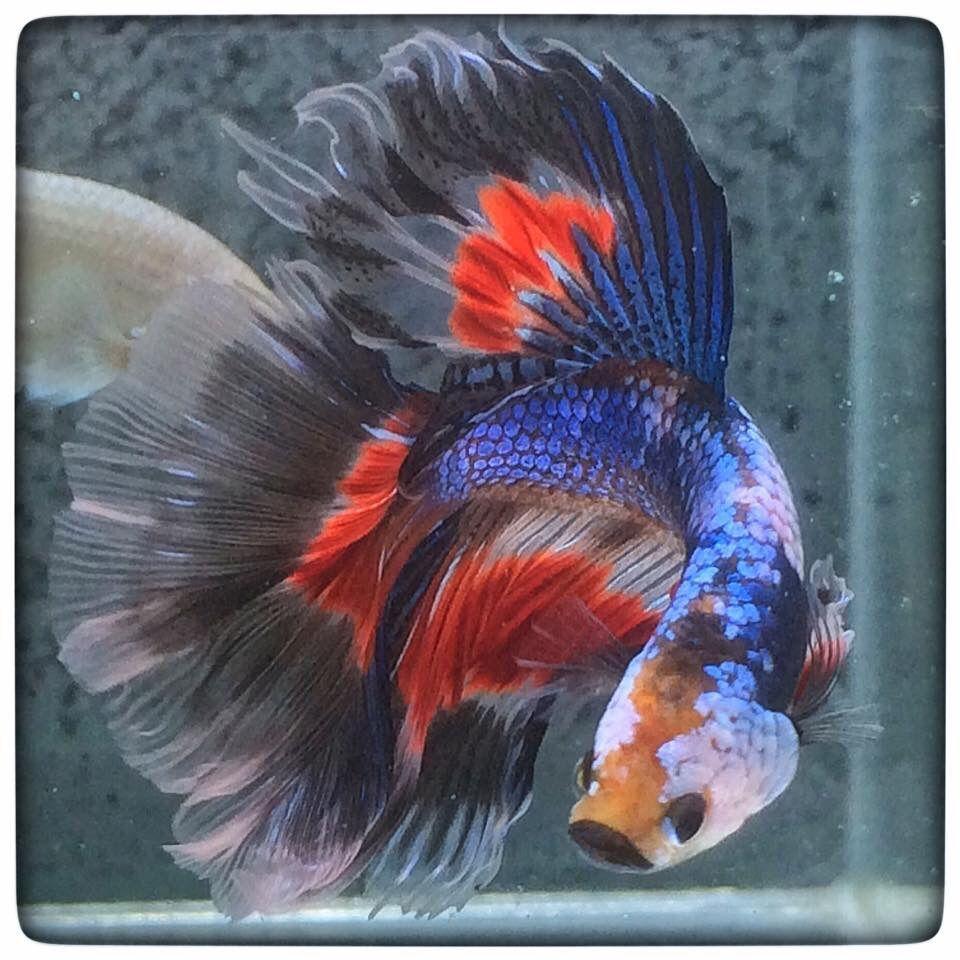 AquaBid.com - Spiderman-HM-Male | Beautiful Betta Fish | Pinterest ...
