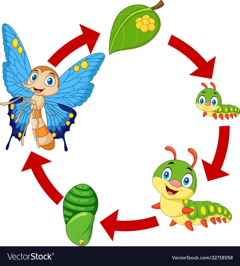 Butterfly Life Cycle Royalty Free Vector Image