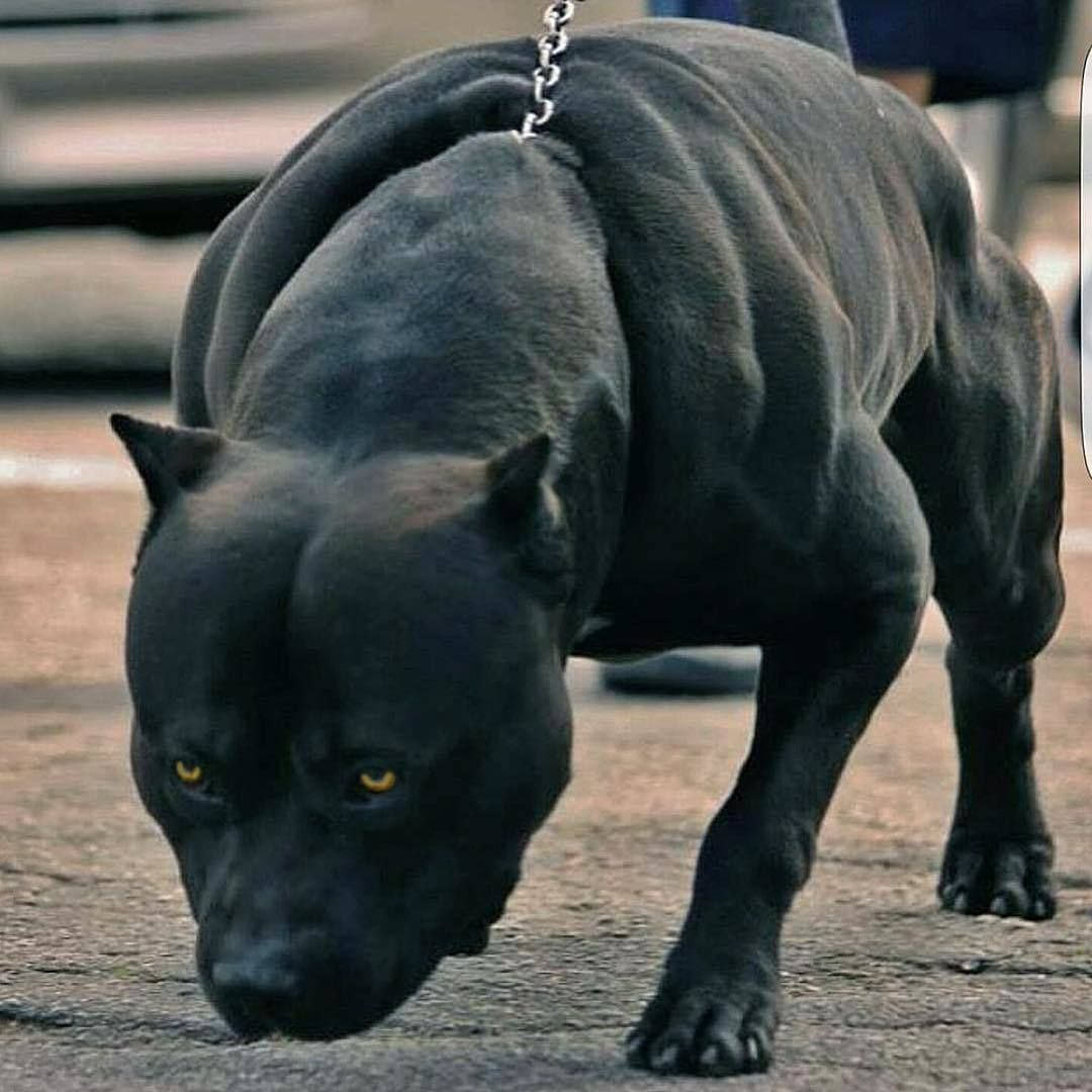 Black Panther Black Pitbull Dog Friends Pets