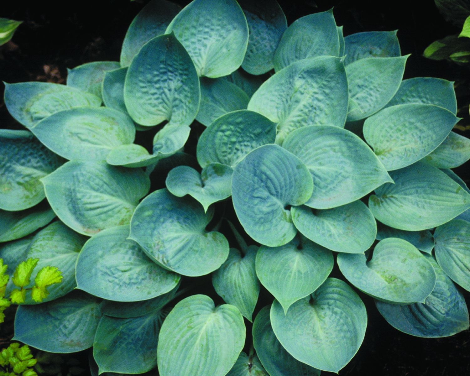 Hosta Identification Chart Willoway Nurseries Inc The