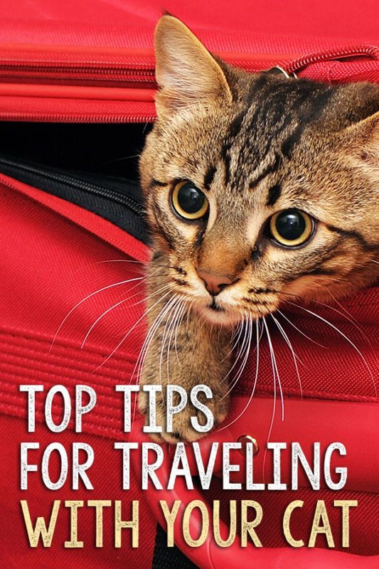 Top Tips For Traveling With Your Cat With Images Cat Care