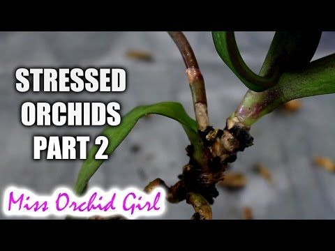 Rejuvenating Stressed Orchids Part 2 Buried Stem And Stem Rot Orchids Phalaenopsis Orchid Orchid Leaves