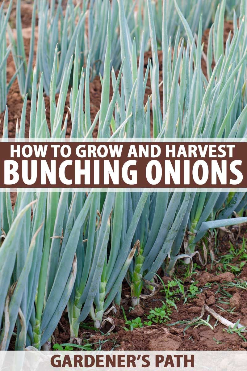11++ When are green onions ready to harvest ideas in 2021