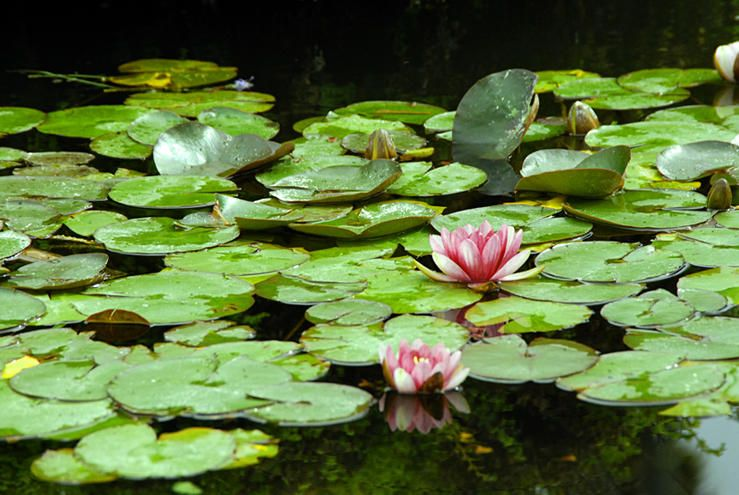 Dancing on Waterlilies