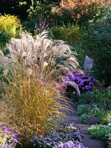 Miscanthus sinensis 39 flamingo 39 maiden grass 39 flamingo for Maiden grass landscaping ideas