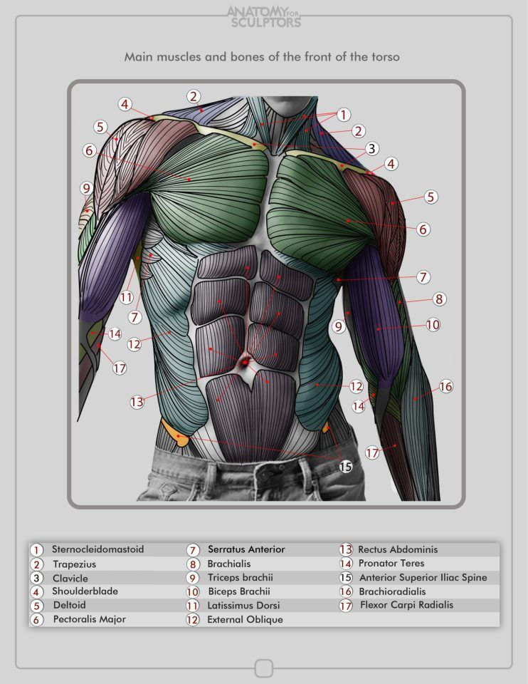 Musculos Muscleanatomy Art Drawing Video Game Concept