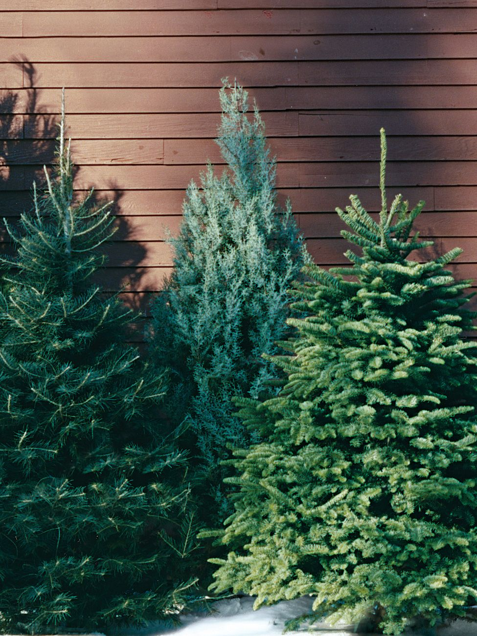 A Guide To All The Different Types Of Christmas Trees Christmas Tree Varieties Types Of Christmas Trees Tree Farms