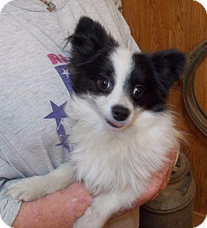Weatherford Tx Pomeranian Chihuahua Mix Meet Dafney A Puppy For Adoption Puppy Adoption Pomeranian Chihuahua Mix Kitten Adoption