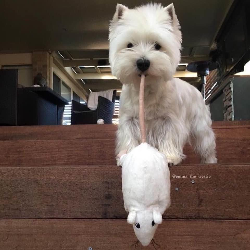 Pin by Sheri Barao on Westies in 2020 Westie dogs, White