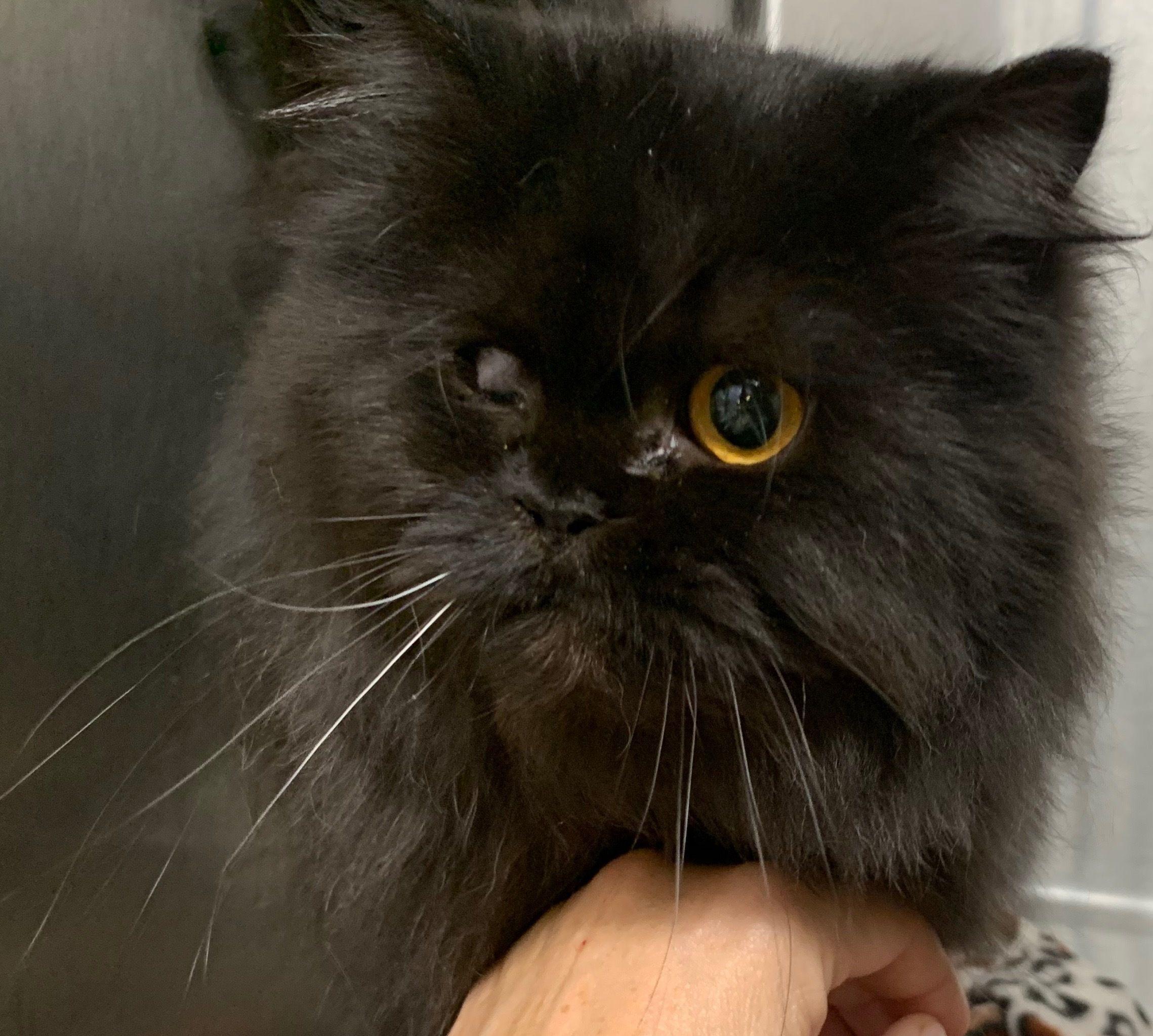 Adopt Captain Hook on Pet insurance cost, Feline