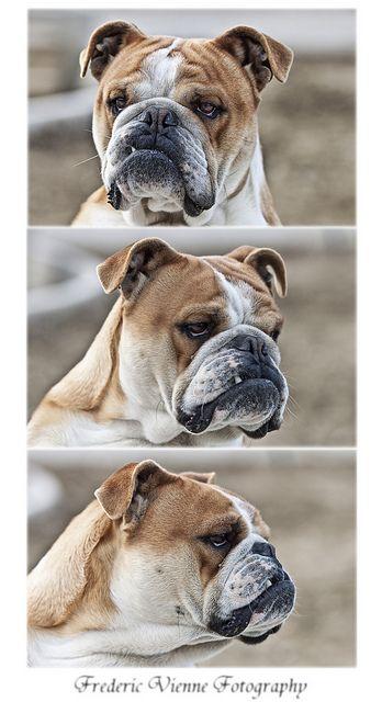 The Many Expressions Of A Beauty Bulldog Puppies Bulldog