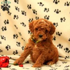 Cockapoo Puppies For Sale Cockapoo Dog Breed Info Cockapoo