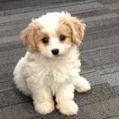 Cavachon Puppies King Charles Cavalier X Bichon Frise Our