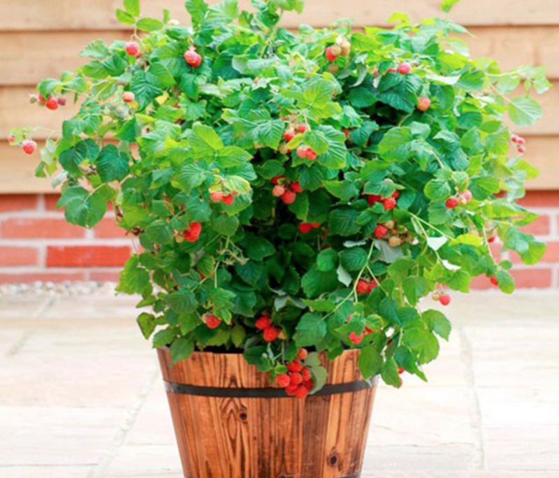 20 Fruits And Vegetables You Can Grow In Pots Raspberry Plants Growing Raspberries Container Gardening Vegetables
