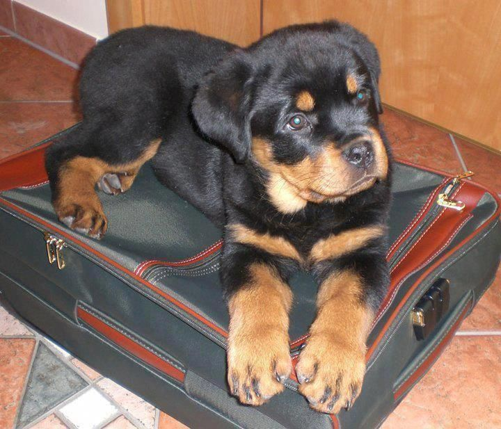 All The Things I Like About The Rottweiler Pups Rottweilerland