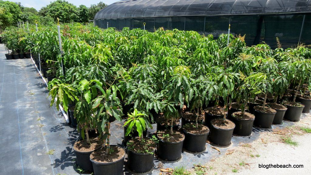 Young mango trees for sale florida fruit market for Fruit trees for sale