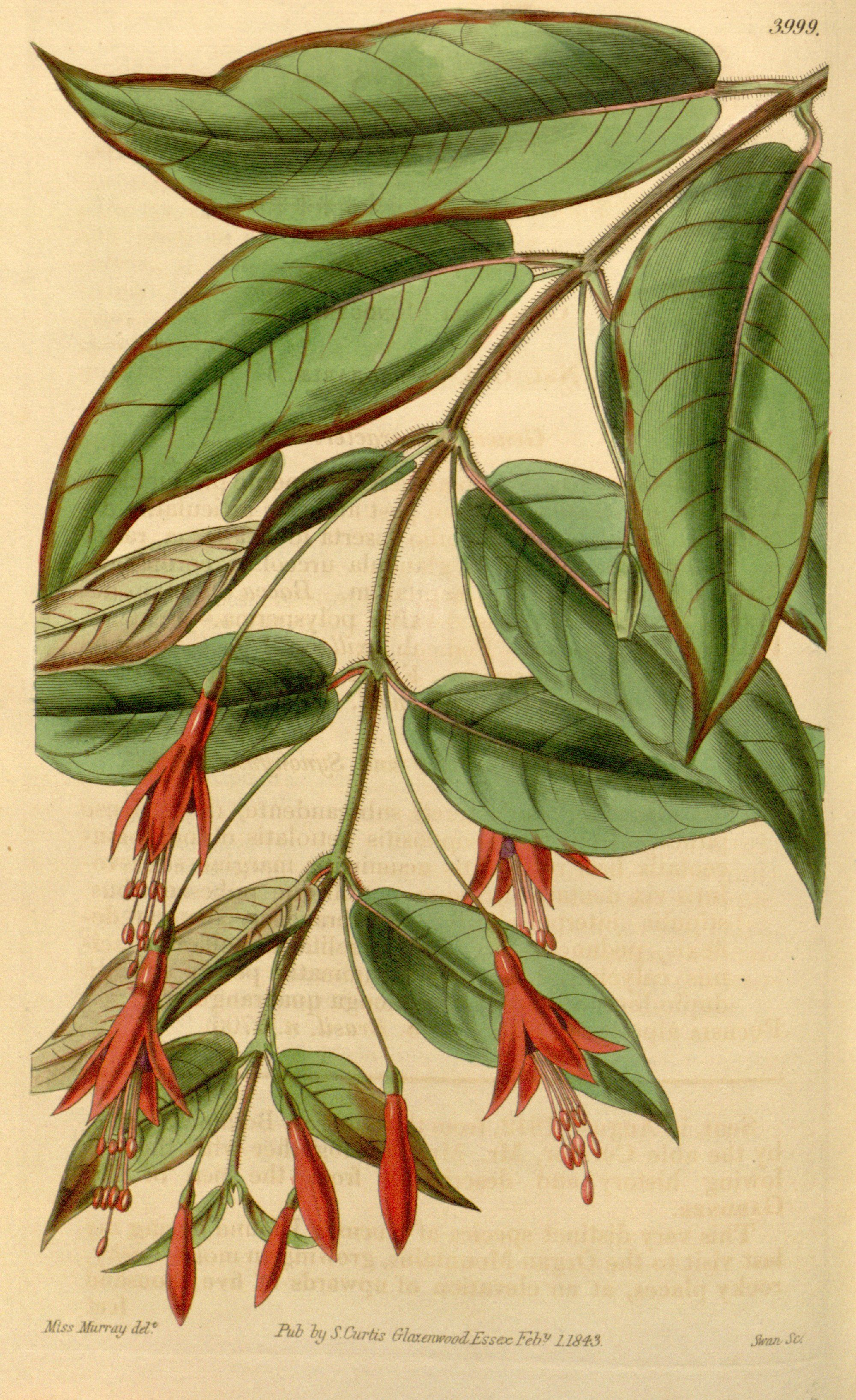 """Fuchsia alpestris Gardner"" by Miss Amelia Matilda Murray (1795 - 1884)"