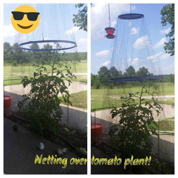 Netting Over A Tomato Plant I Used A Lowes Bucket Lid A