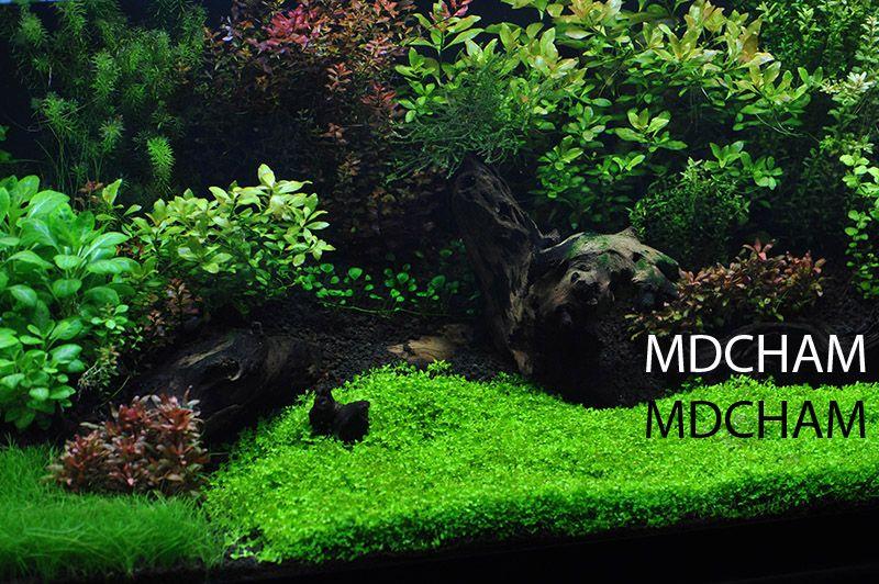 AquaBid.com - Item # liveplantsr1422241513 - RARE CARPET Micranthemum Monte Carlo - Ends: Sun Jan 25 2015 - 09:05:13 PM CDT