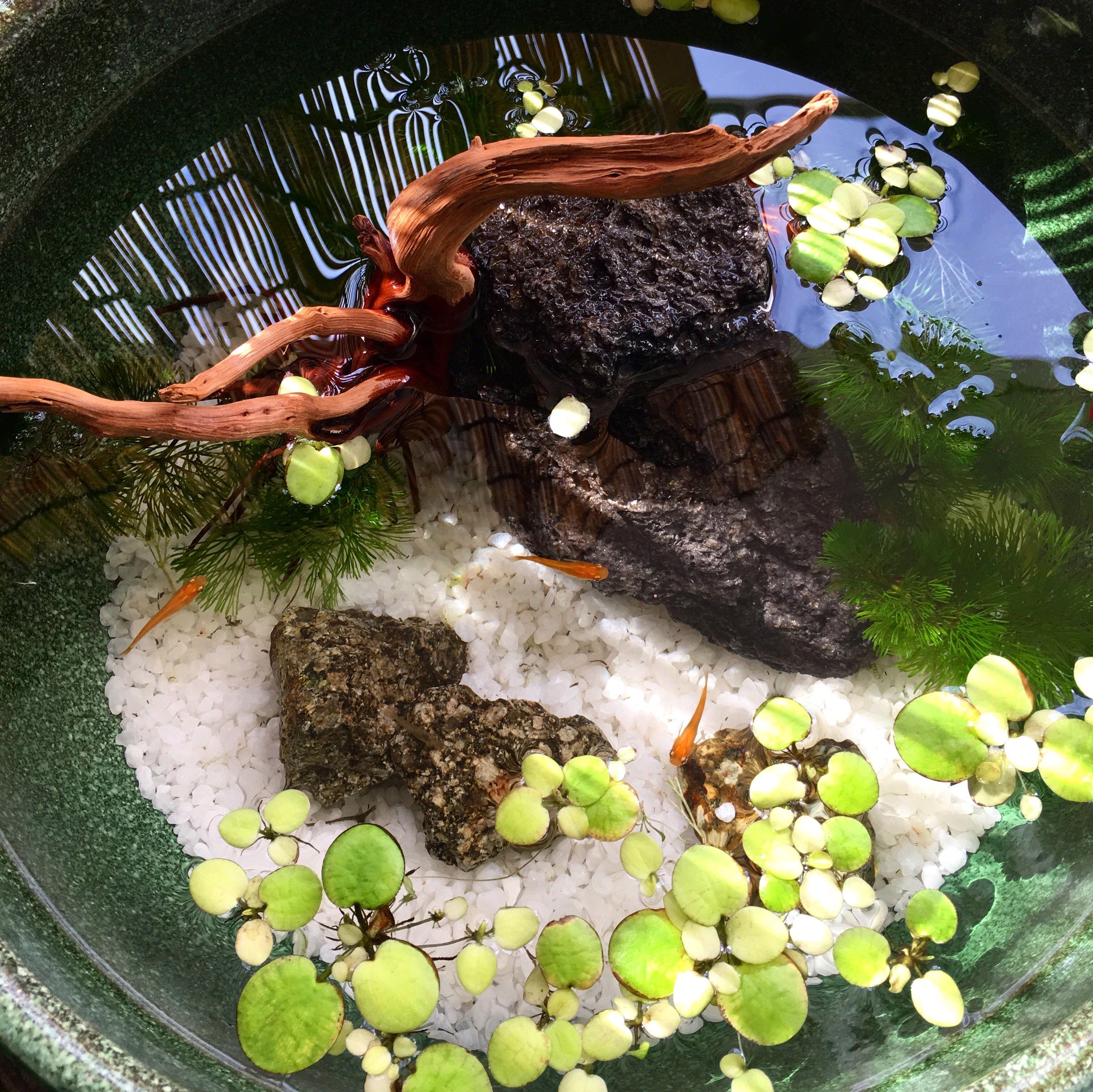 睡蓮鉢 楊貴妃メダカ fishquarium pinterest fish pond gardens