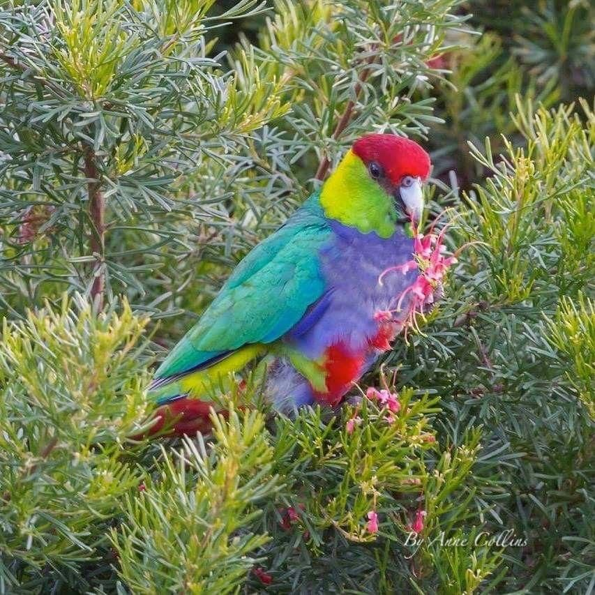 Red Capped Parrot Lives Southern Western Australia By Anne Collins Parrot Australian Parrots Parrot Pet