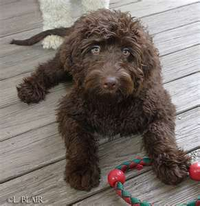 Chocolate Goldendoodle Explain How And Why My Husband Is So
