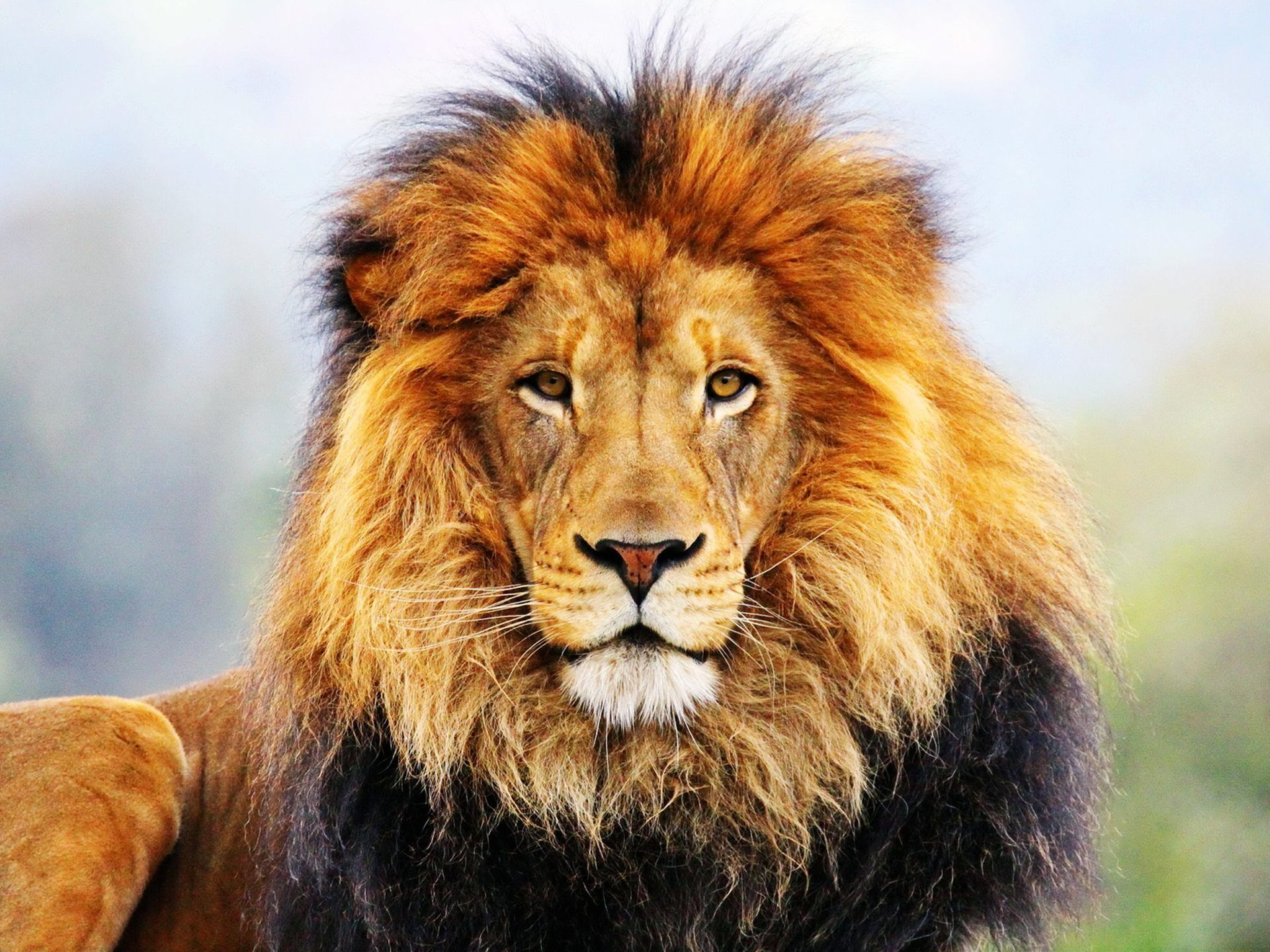 Male lion roaring black and white dresses