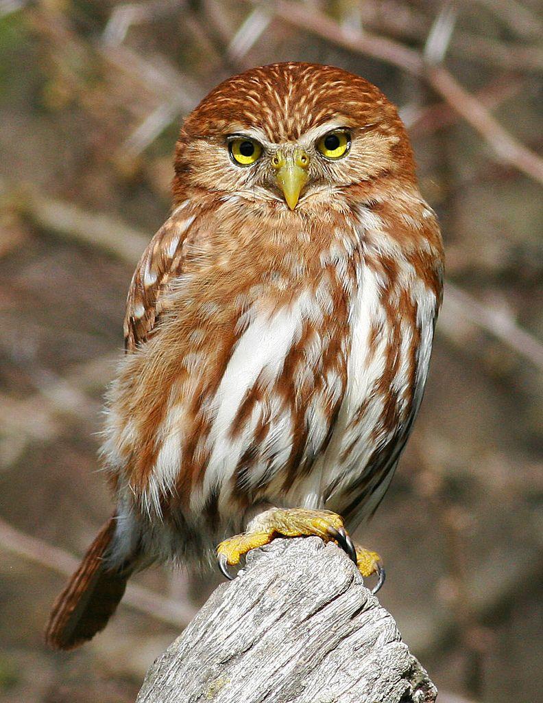 Ferruginous Pygmy Owl | Flickr - Photo Sharing!