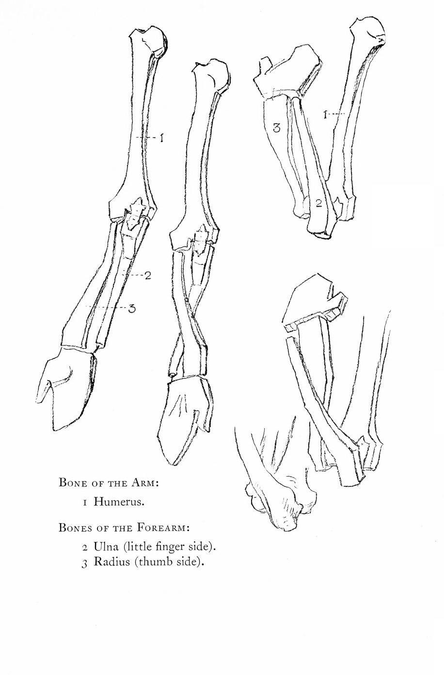 Constructive Anatomy by George Bridgman   Artist ~ George Bridgman ...