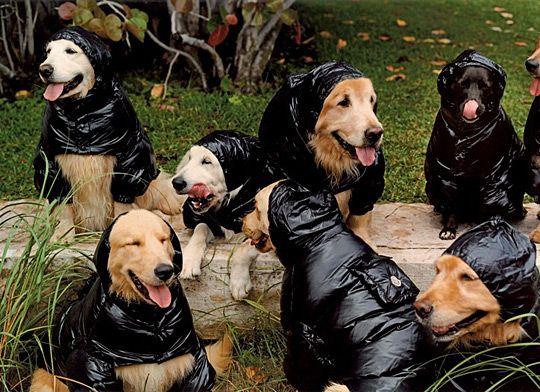 Hunter Wheaten Terrier 8 Weeks Wheaton Terrier Terrier Wheaten Terrier