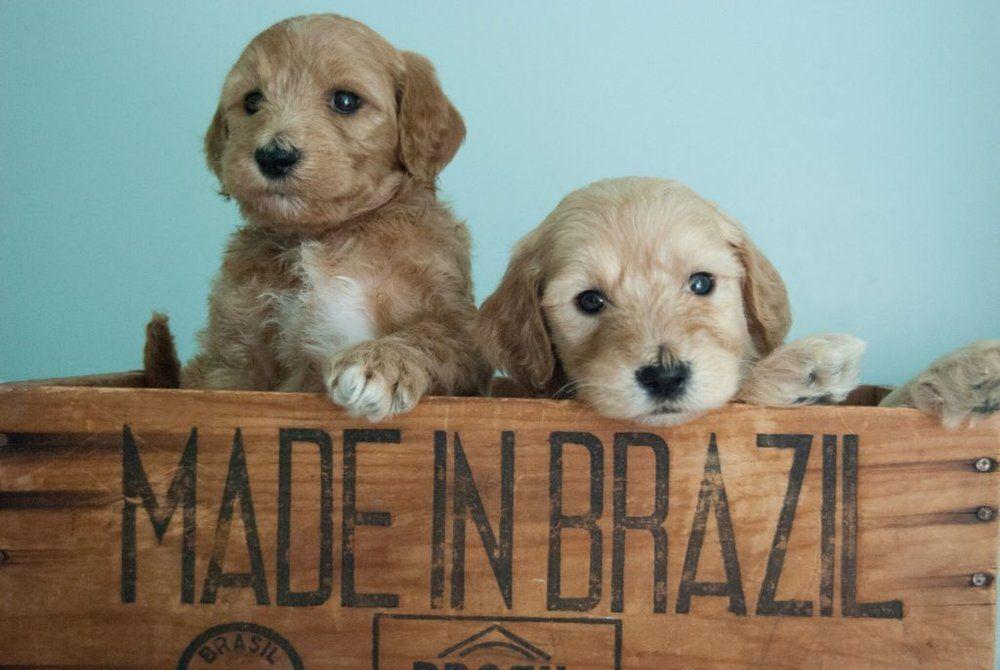 teddy bear puppies wisconsin